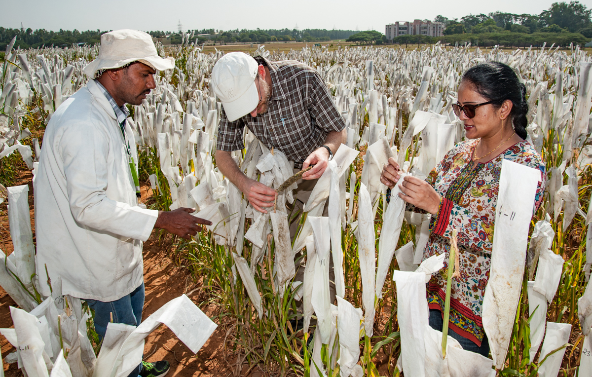 ICRISAT pearl millet for a changing climate – Michael Major/Global Crop Diversity Trust